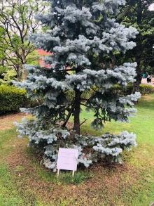Ein mäßig stattliches Exemplar Weihnachtsbaum